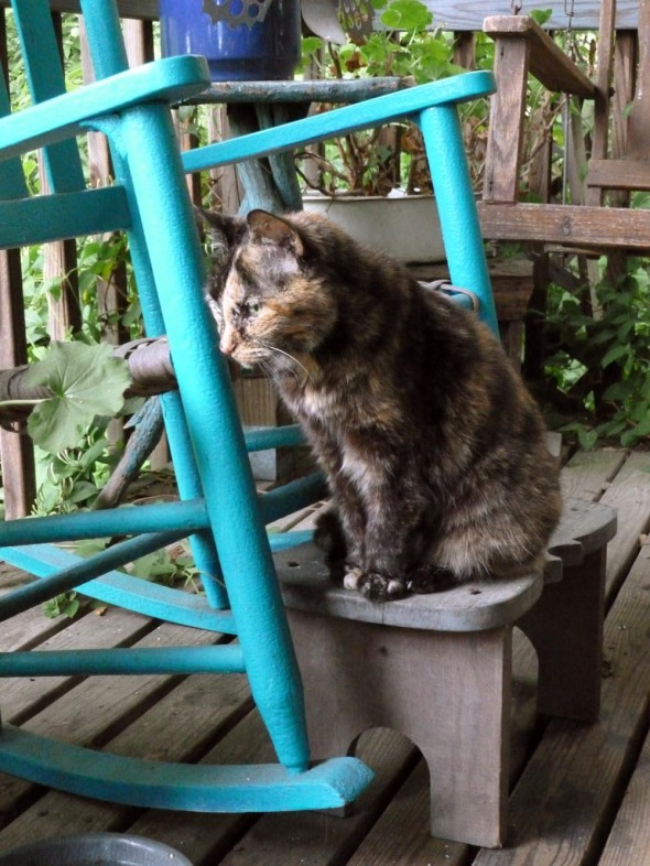 tortie cat with blue rocker