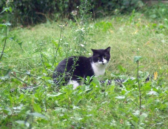 tuxedo cat in grass