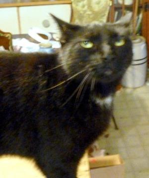 black cat making face
