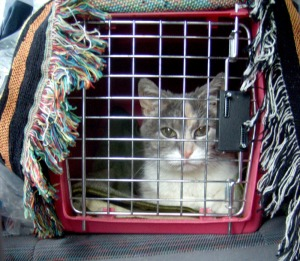 cat in carrier in back seat