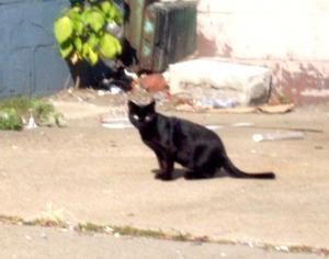 stray black cat