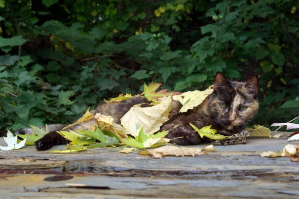 tortie cat covered with leaves