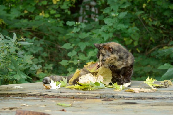 tortie cat on picnic table with leaves