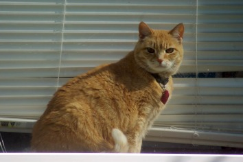 orange cat on windowsill