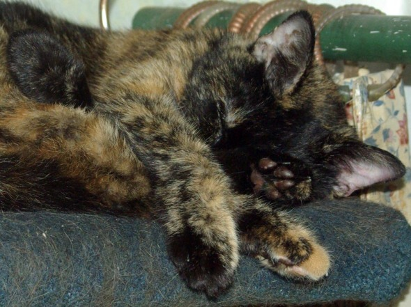 tortie cat sleeping
