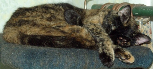 tortie cat stretching
