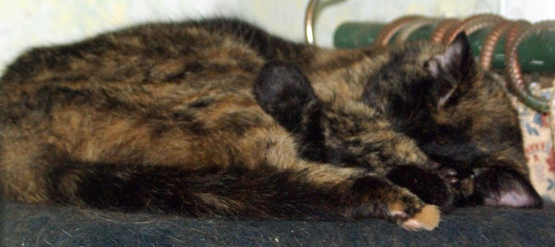 tortie cat sleeping in a curl