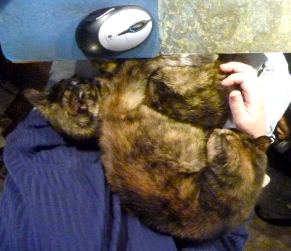 two tortoiseshell cats on lap