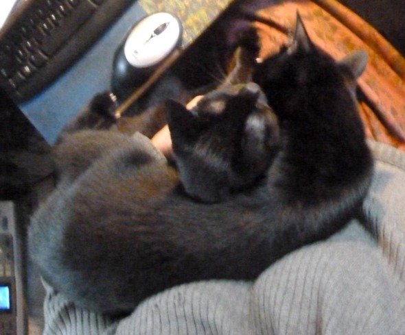 two black cats on lap