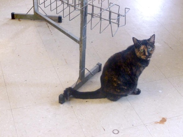 tortoiseshell cat by rack