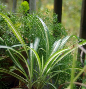 Living green with pets bringing plants indoors the for Spider plant cats