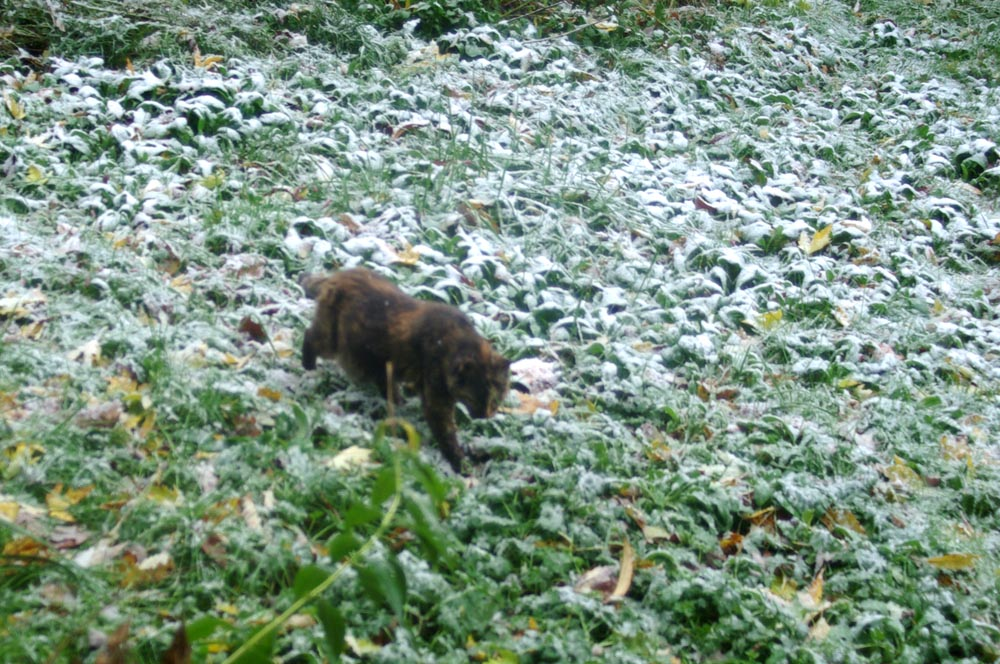 cat walking through snowy grass