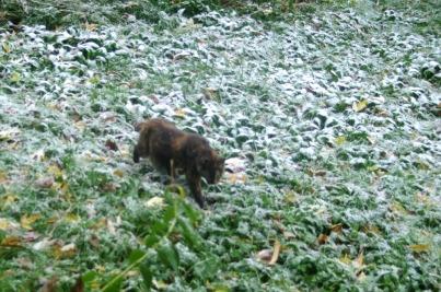 cat walking through snowy grass