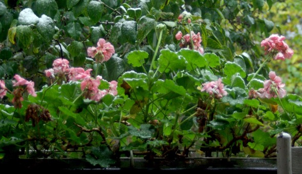 geraniums in the snow