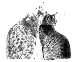 sketch of two tabby cats