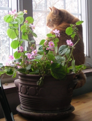 orange cat with begonias