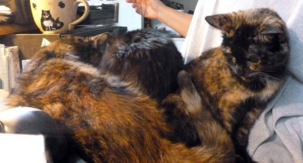 three cats on lap