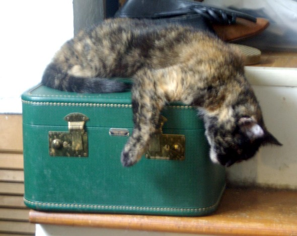 tortoiseshell cat sleeping on train case