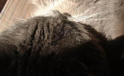 gray kitty nose