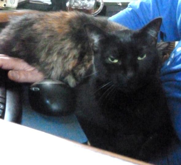 black cat with tortie cat