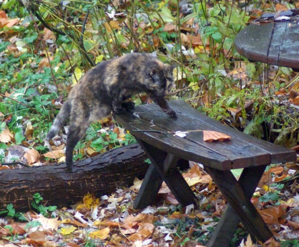 tortie cat steps up on the bench