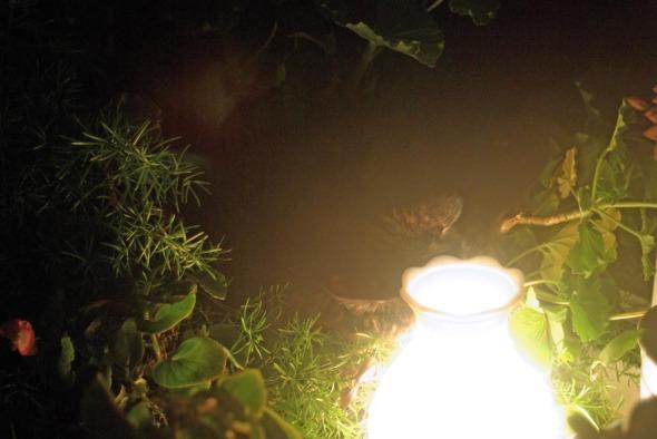 tortie cat sleeping near lamp in geraniums
