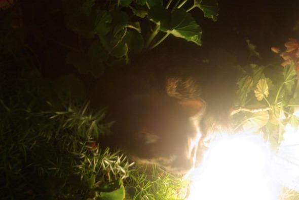 tortie cat in geraniums
