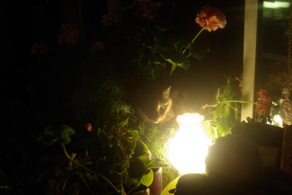 tortoiseshell cat in geraniums with lamp
