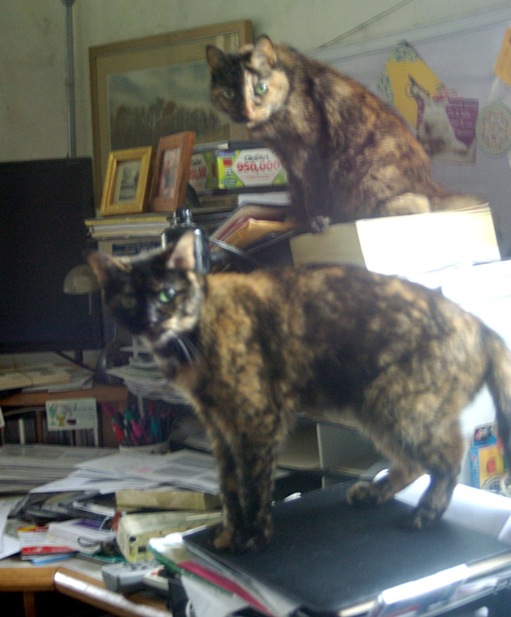 two tortoiseshell cats on desk Daily Cat Photo