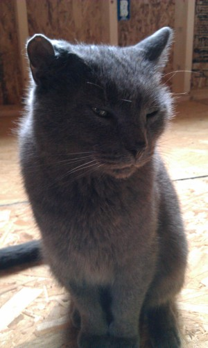 gray cat needs a home