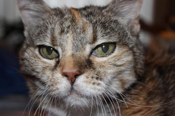 tri-color cat