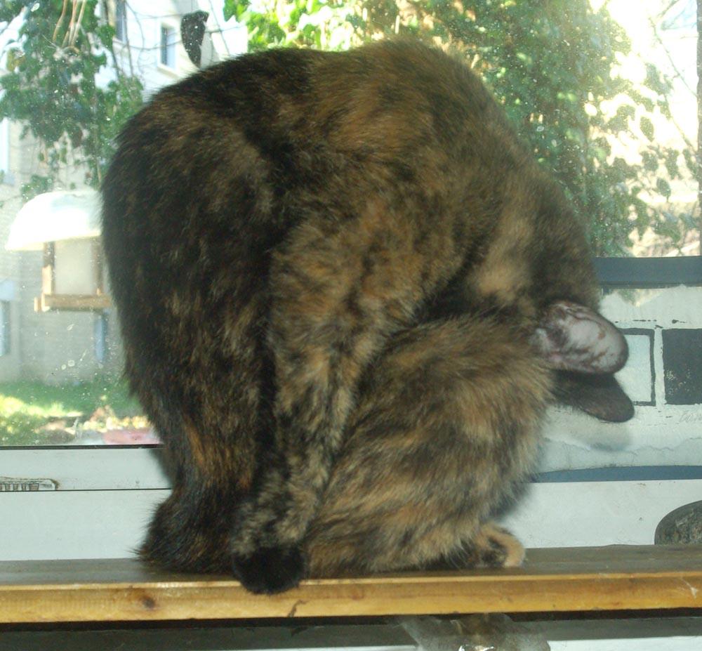 tortie cat bathing belly