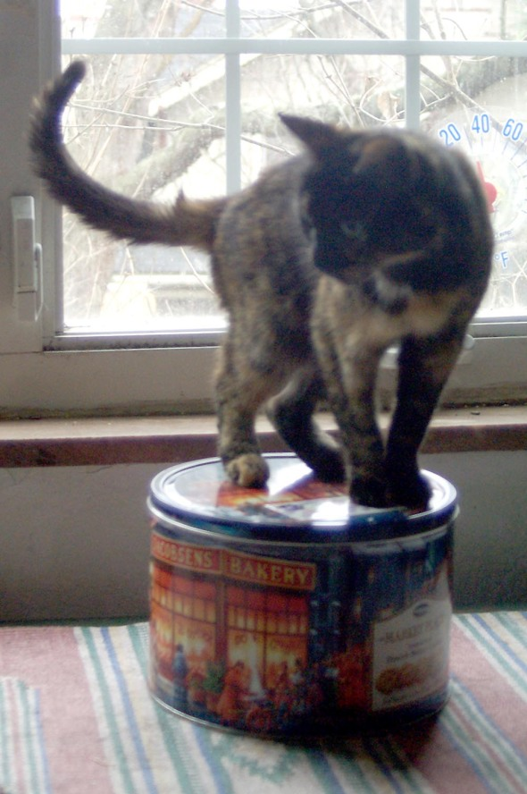 photo of tortoisehshell cat on tin of cookies