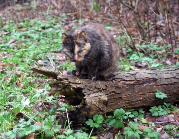 tortoiseshell cat on log