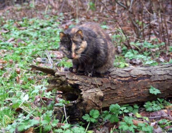 tortoiseshell cat on log