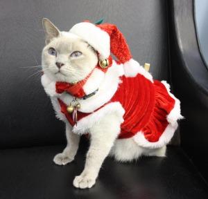 cat in Santa suit