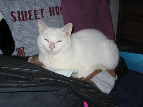 photo of white cat