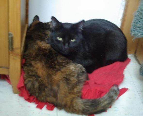tortie cat and black cat