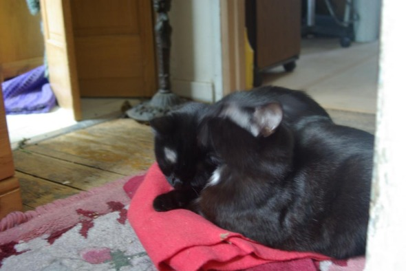 two black cats on red cloth