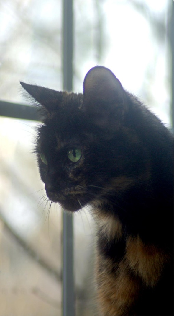 tortoiseshell cat in front of window