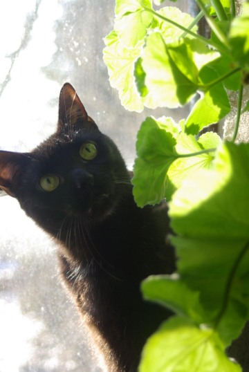 black cat looking at green leaves