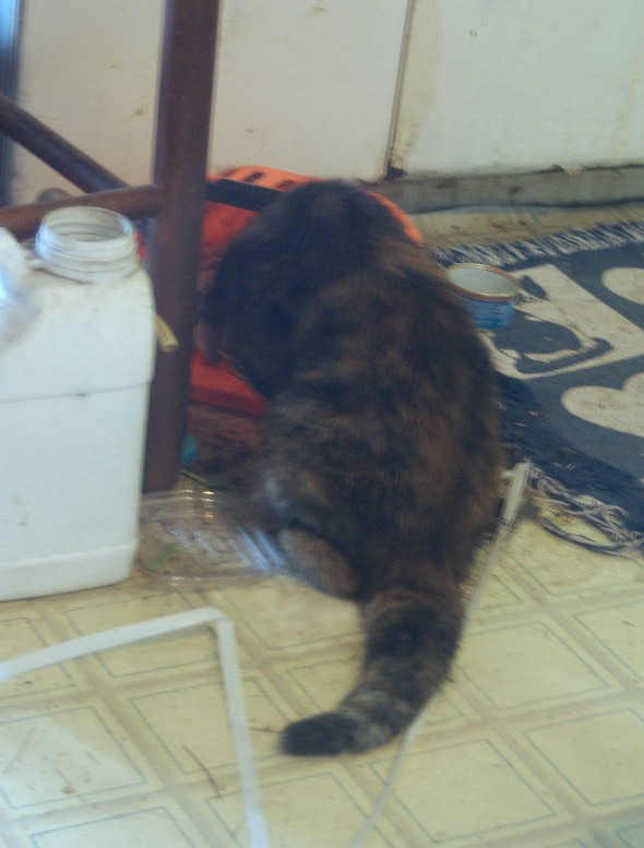 tortoiseshell cat digging in container