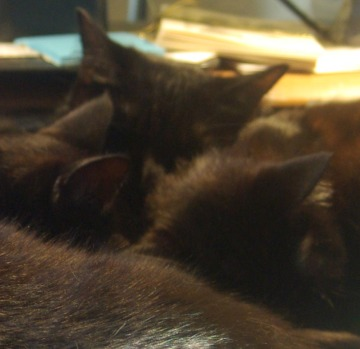 three black cats lined up