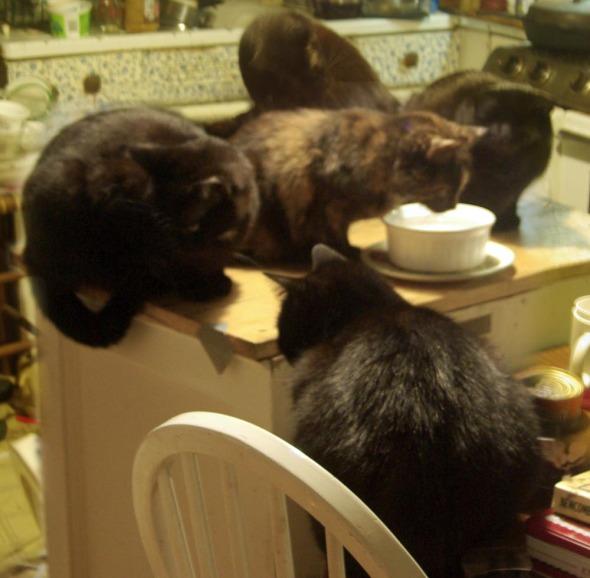 four black cats around tortoiseshell cat