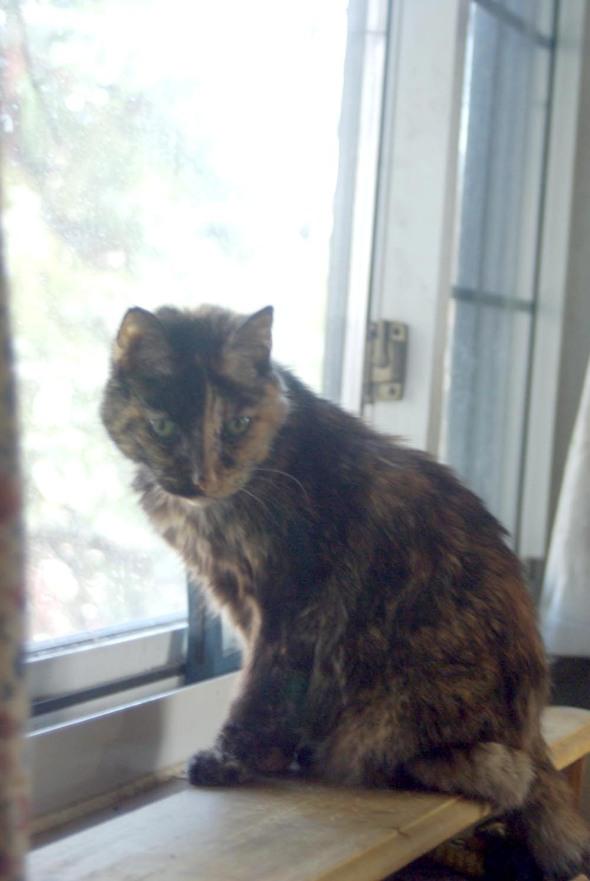 tortoiseshell cat at window