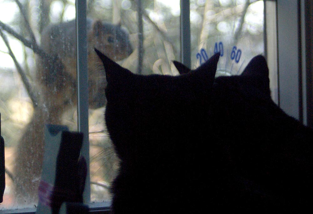 two black cats looking at squirrel