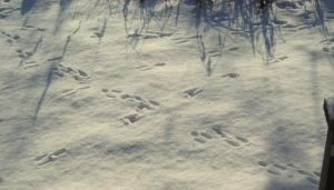 rabbit tracks in snow
