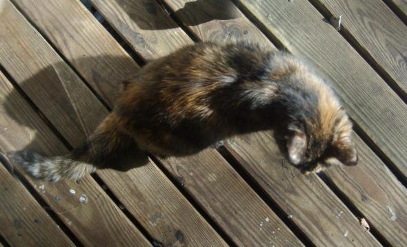 tortoiseshell cat on wood