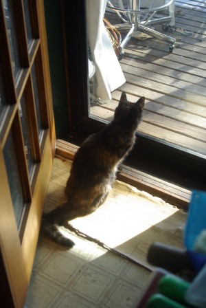 tortoiseshell cat looking out door