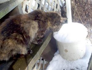 tortoiseshell cat eating snow